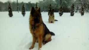 Зима. Шолохово. Овчарки