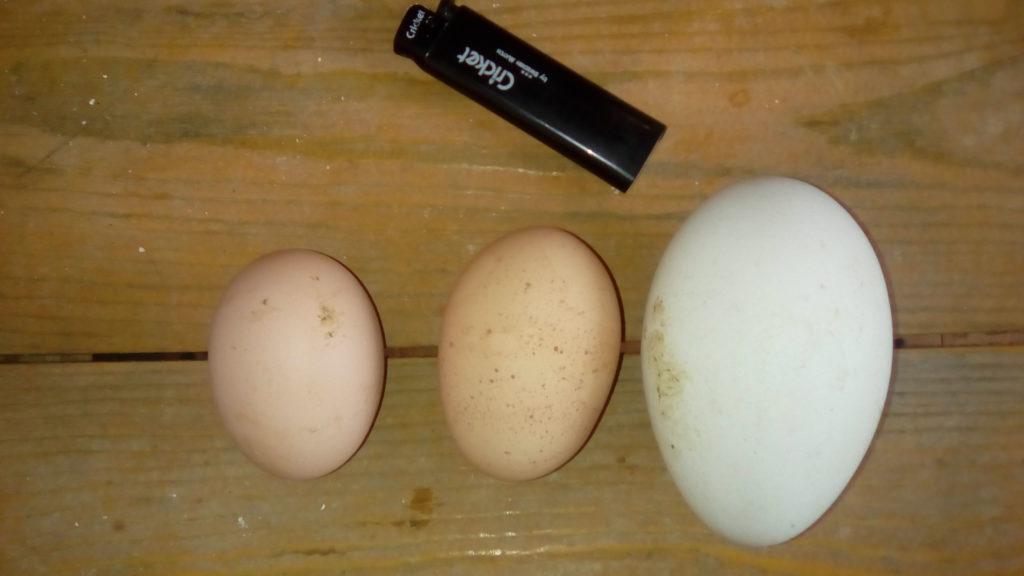 Яйцо гуся, индюка, курицы. Калининград.