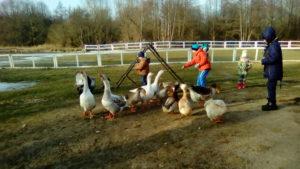 Познавательный отдых на пони ферме. Гуси. Полесск.